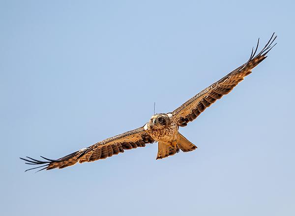 Águila calzada en vuelo (foto: Ángel Sánchez).