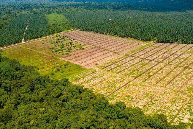 Deforestación en Borneo para plantar palma aceitera (foto: Richard Whitcombe).