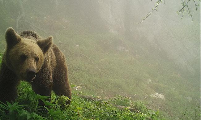 Oso pardo fotografiado en su hábitat de la cordillera cantábrica mediante fototrampeo (foto: Fapas).