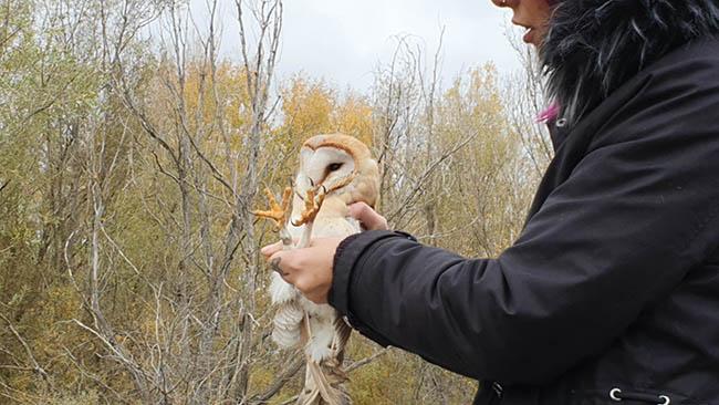 Liberación de una lechuza criada en cautividad en la Comunidad de Madrid (foto: Brinzal).