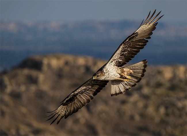 Águila perdicera en vuelo. Esta especie es muy vulnerable a la electrocución en la Comunidad Valenciana y en otras zonas (foto: Toni Peral).