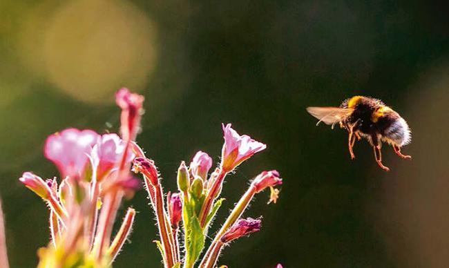 La importancia de conservar los insectos es uno de los principales argumentos de la campaña 'Sin biodiversidad no hay vida'. En la fotografía, un abejorro común se acerca a unas flores (foto: SanderMeertinsPhotography / Shutterstock).