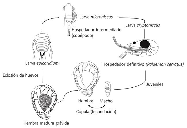 Ciclo de vida de los bopiroideos, basado en la especie Bopyrus squillarum.