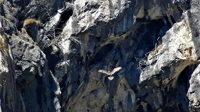 Ha nacido el primer quebrantahuesos de Picos de Europa