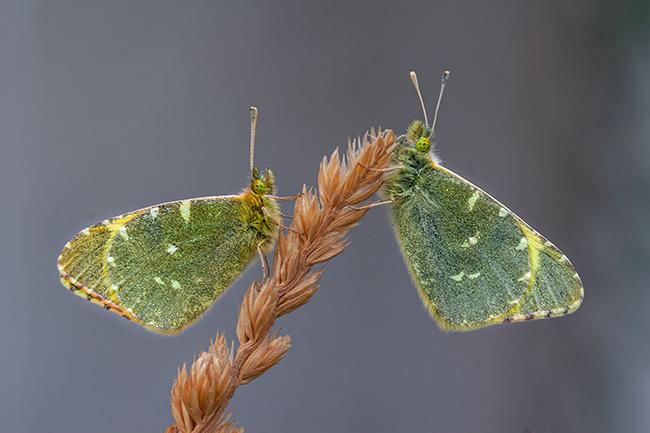 Dos ejemplares macho de Euchloe bazae reposan sobre una espiga a la caída de la tarde (foto: F. Javier Olivares).