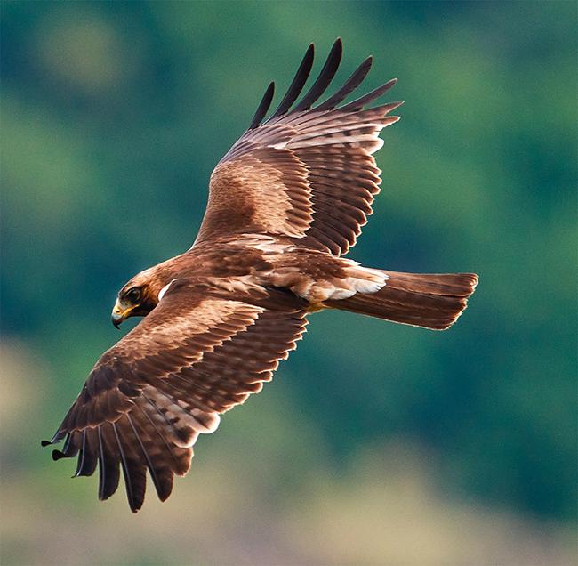 Águila calzada en vuelo sobre un paraje forestal (foto: aaltair / Shutterstock)