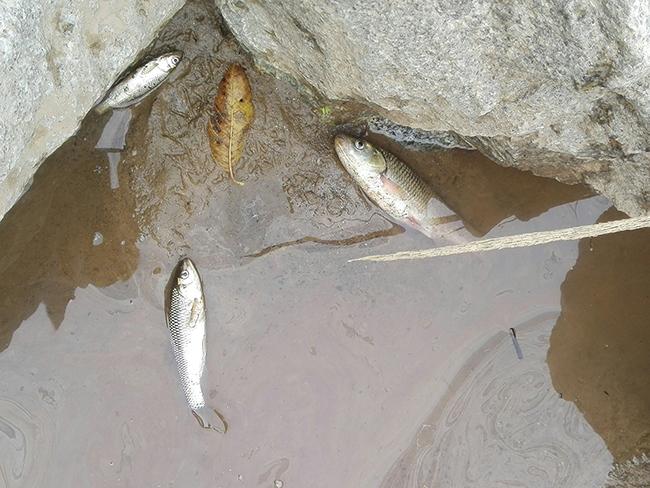 Tres bagres muertos por el vertido en el río Besós (foto: Manel Gómez).